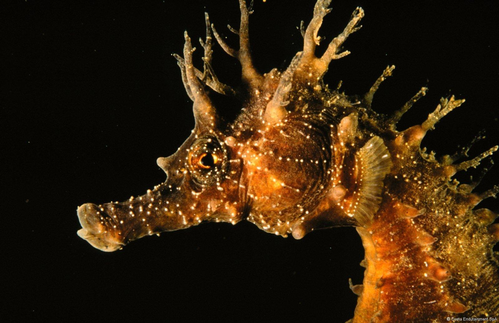 Come i pesci ago i cavallucci marini hanno uno scheletro for Immagini cavalluccio marino